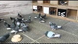 Download Adana güvercinleri Vedat Flensburg Video