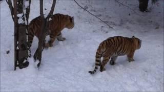 Download 2017年12月3日 旭山動物園 アムールトラの親子 Video