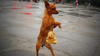 Download Cute Pets Standing 🐕🐕 Funny Dogs Walking On Two Legs (Full) [Funny Pets] Video