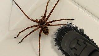 Download Big Spider Bathroom Daddy Screamer Arachnophobia Warning Video
