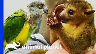 Download Two Exotic Pets Get Expert Treatment From Dr Ross | The Vet Life Video