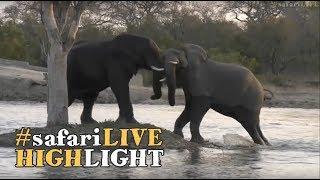 Download Playful elephant bulls splashing around at sunset! Video