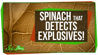 Download Spinach That Detects Explosives! Video