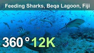 Download Feeding Sharks. Beqa Lagoon, Fiji. Underwater 360 video in 12K Video