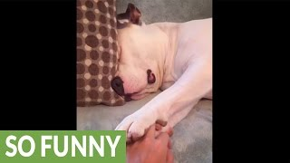 Download Cute puppy refuses to wake up Video