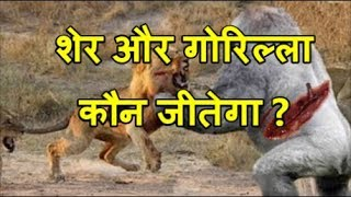 Download शेर और गोरिल्ला की लड़ाई | Gorilla Vs Lion, Buffalo vs Rhino, Gorilla big baboon vs biggest cat Video