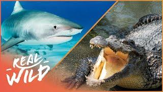 Download Sharks Vs Crocodile [Shark & Crocodile Documentary] | Wild Things Video