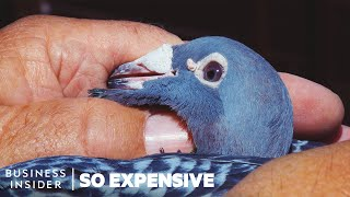 Download Why Racing Pigeons Are So Expensive | So Expensive Video