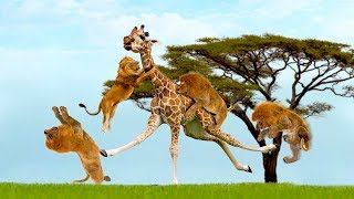 Download Lion vs Giraffe Attack - Amazing Giraffe Knockout Herd Of Lions One By One Video