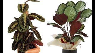 Download Calatheas y marantas, plantas de interior espectaculares Video