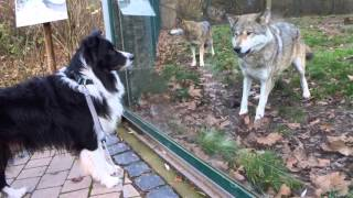 Download Wolf and dog - friendly encounter Video