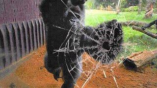 Download Gorilla Escapes Zoo Enclosure, Chaos Ensues Video