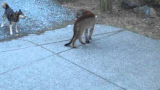 Download Hungry Cougar vs brave dogs, Highlands, Victoria Video