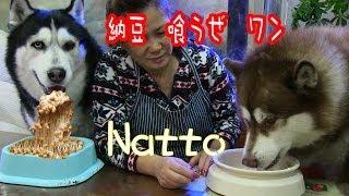 Download 納豆大好き シベリアンハスキー犬 Natto Fermented soybeans Favorite dogs Video