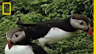 Download Puffins | National Geographic Video