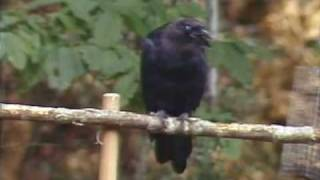 Download Bob Austin, PM Magazine - My Cat Has a Pet Crow Video