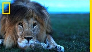 Download Understanding the Lives of Lions | National Geographic Video