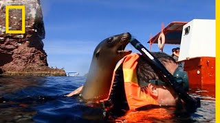 Download A Playful Sea Lion Encounter in California | National Geographic Video
