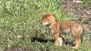 Download Wonderful Wyoming Wildilife - Coyote Pup - 6/1/2015 Video