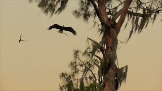 Download SWFL Eagles H & M Do Nest Work In Two Places~No Juveniles Seen~Yonder Pond 5.5.18 Video