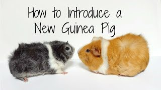 Download How to Introduce a New Guinea Pig to Your Herd Video