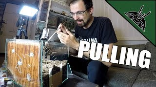 Download I pulled my first tarantula egg sac Video