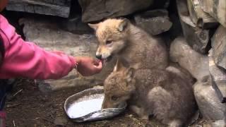 Download EBS 다큐프라임 - 중앙아시아, 살아남은 야생의 기록 2부 늑대와 유목민, 그들의 겨울 #003 Video
