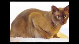 Download Top 10 Most Friendliest Cat Breeds Video