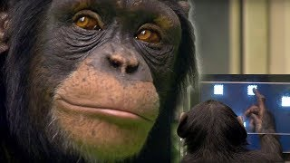Download Chimp vs Human! | Memory Test | BBC Earth Video