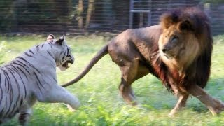 Download Big Cats in Slow Mo Video