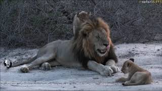 Download SafariLive Nov 12 - Male lion Tinyo and the Styx cubs! Video
