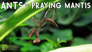 Download Ants vs. Praying Mantis Video