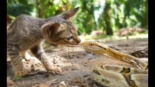 Download 蛇が手当たり次第に猫に飛び掛かる Video
