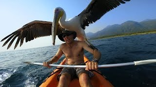 Download GoPro: Pelican Learns To Fish Video
