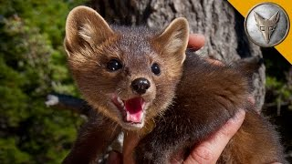 Download The Pine Marten is Nature's Most Adorable Assassin! Video