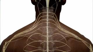 Download Anatomy of the Spinal Cord and How it Works Video