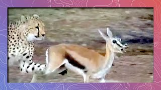Download Cheetah Running Full Speed Hunts Prey | Attacks Thompson's Gazelle Video
