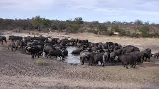 Download Djuma: Breeding herd of African Buffalo - 10/23/18 Video