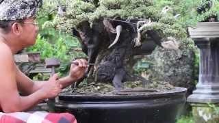 Download The Bonsai Art of Bali Video