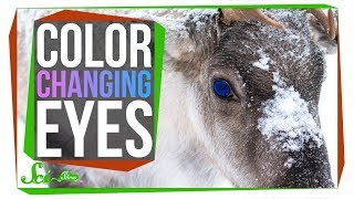 Download The Unique Reason Reindeer Change Their Eye Color Video