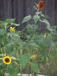 tons of sunflowers now!