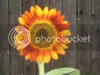 the biggest, tallest sunflower