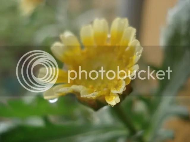 Hoa cải cúc đẫm nước