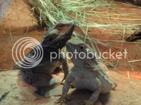 Lizard Love