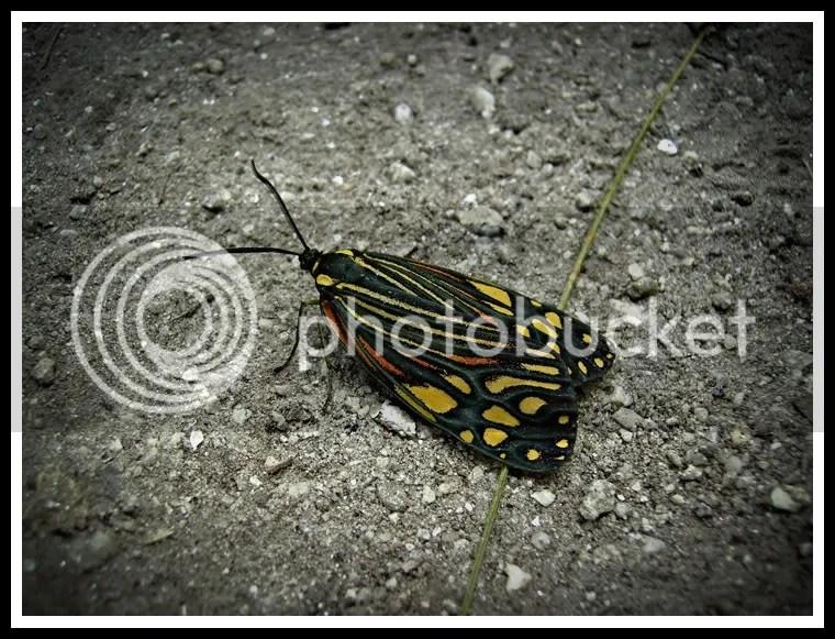 Nepal, Around Annapurna Trek, Butterfly