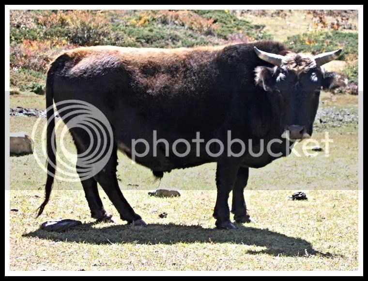 Nepal, Around Annapurna Trek, Bull