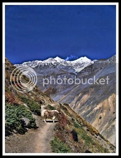 Nepal, Around Annapurna Trek, Yak