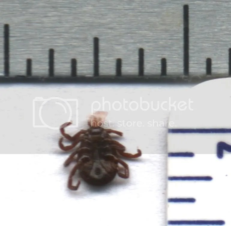 American dog tick, bottom view, adult female. NE Pennsylvania, US.