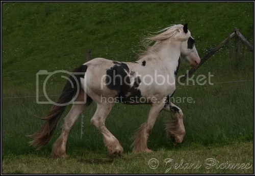 Bowen all grown up. He is a piebald Irish Cob stallion with blue eyes.