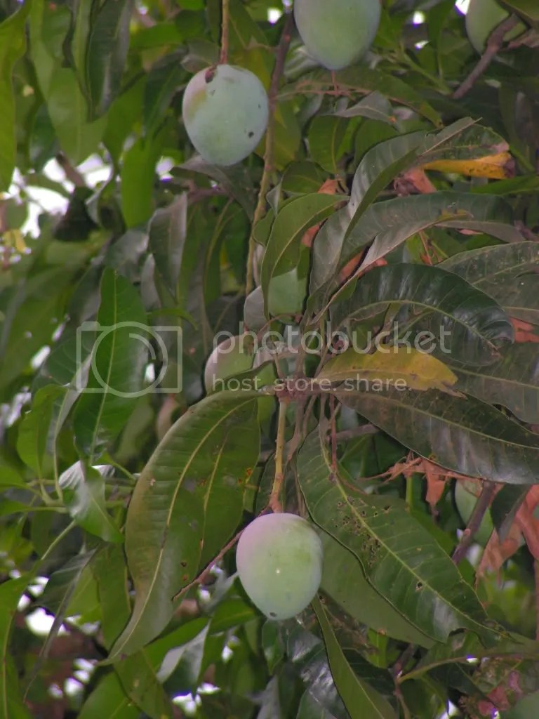Mango tree with Mangoes